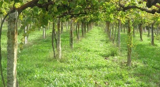 Verde intenso de la cubierta vegetal en un viñedo emparrado de albariño