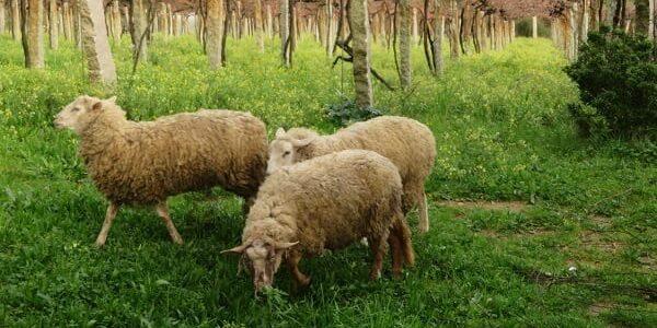 Ovejas disfrutando de los abundantes pastos que proporciona la cubierta vegetal del viñedo de Xangall