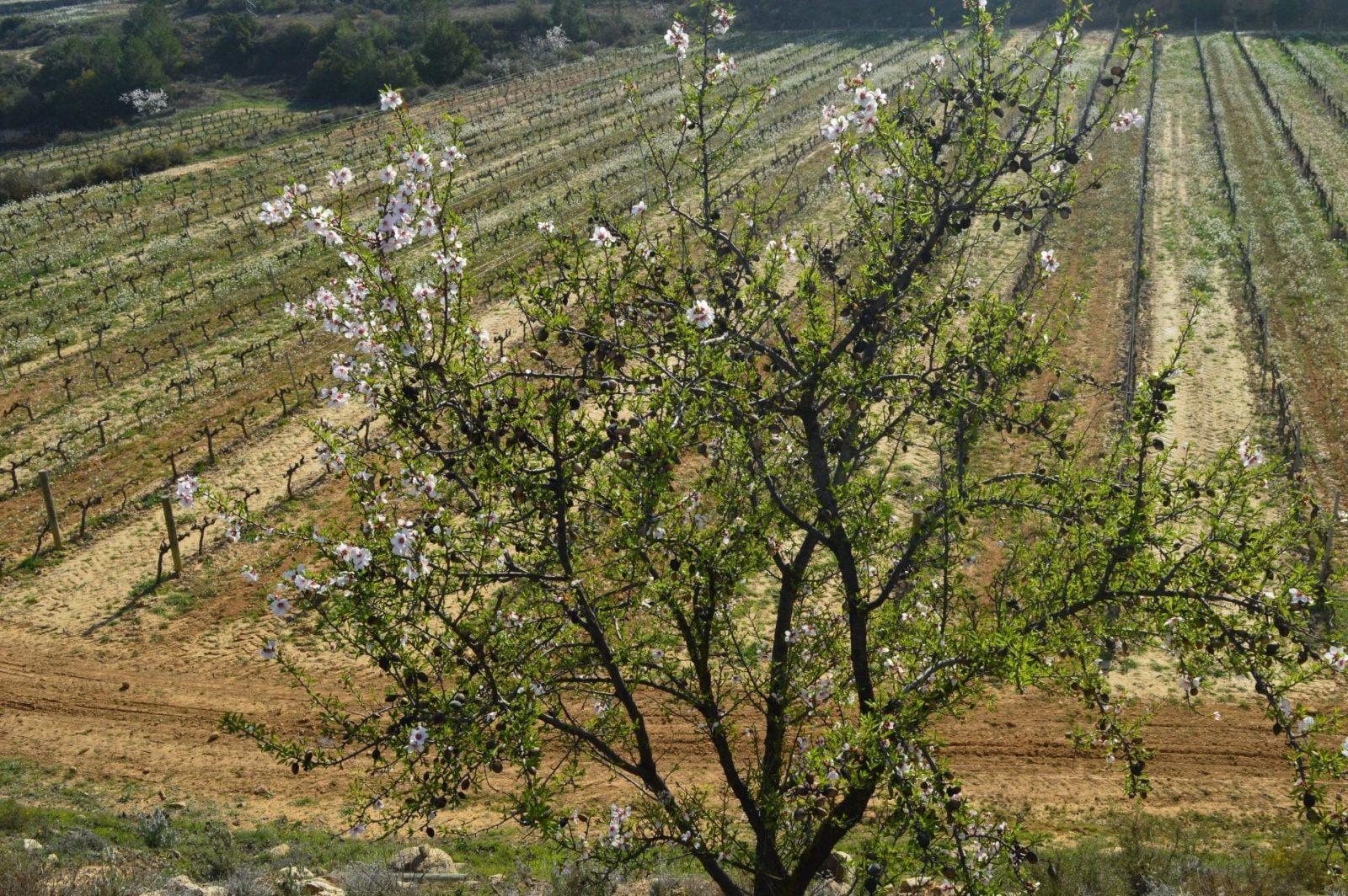 almendro-flor-vinedo (2)
