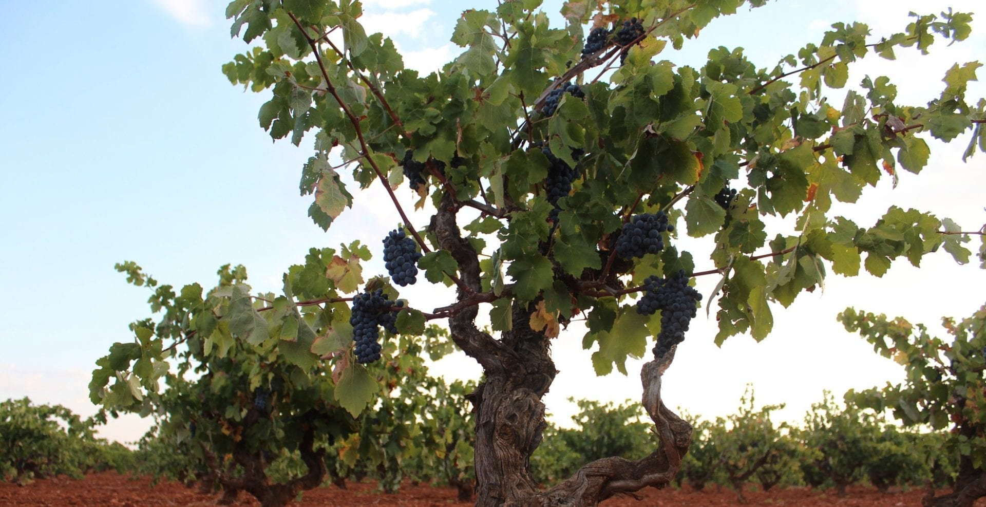 cepas-con-uvas