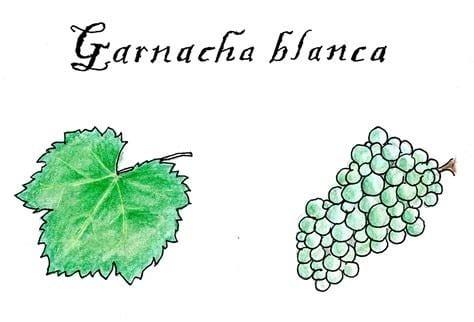 dibujo-garnacha-blanca