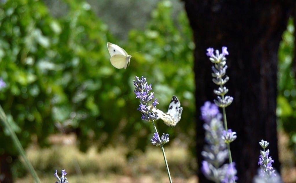 mariposas-vinedo