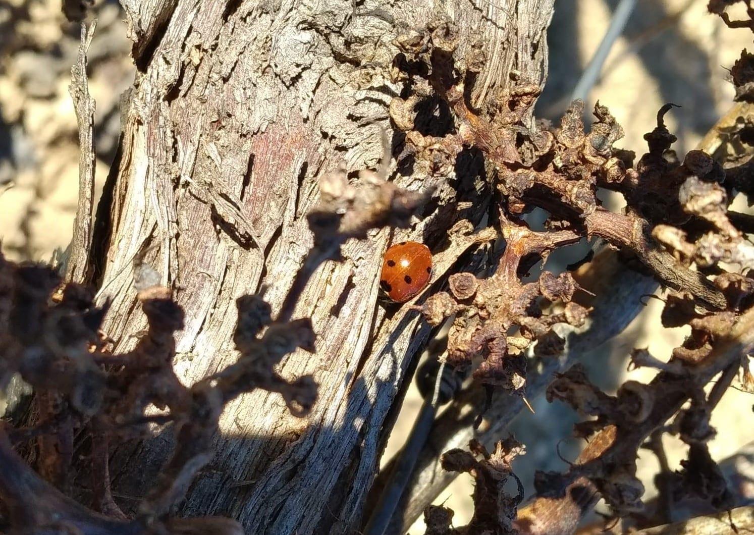 mariquita-cepa-vieja