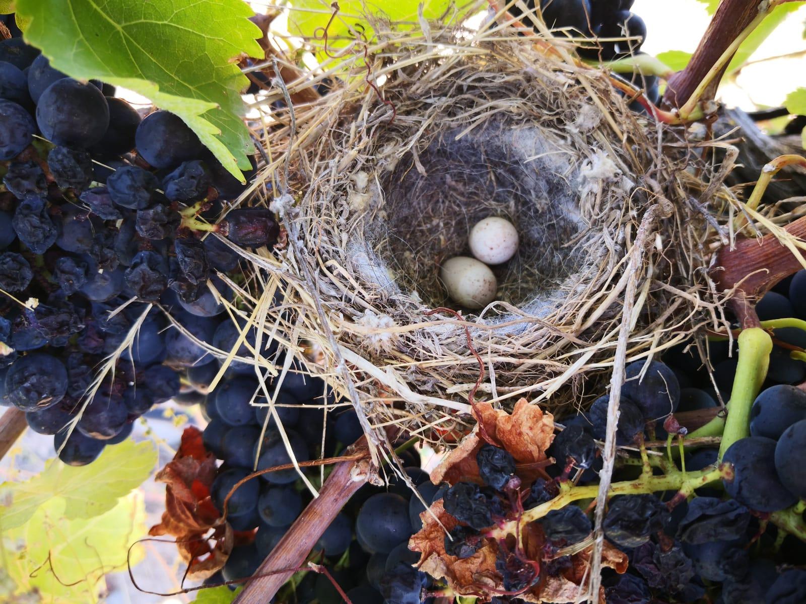 nido-vinedo-duero
