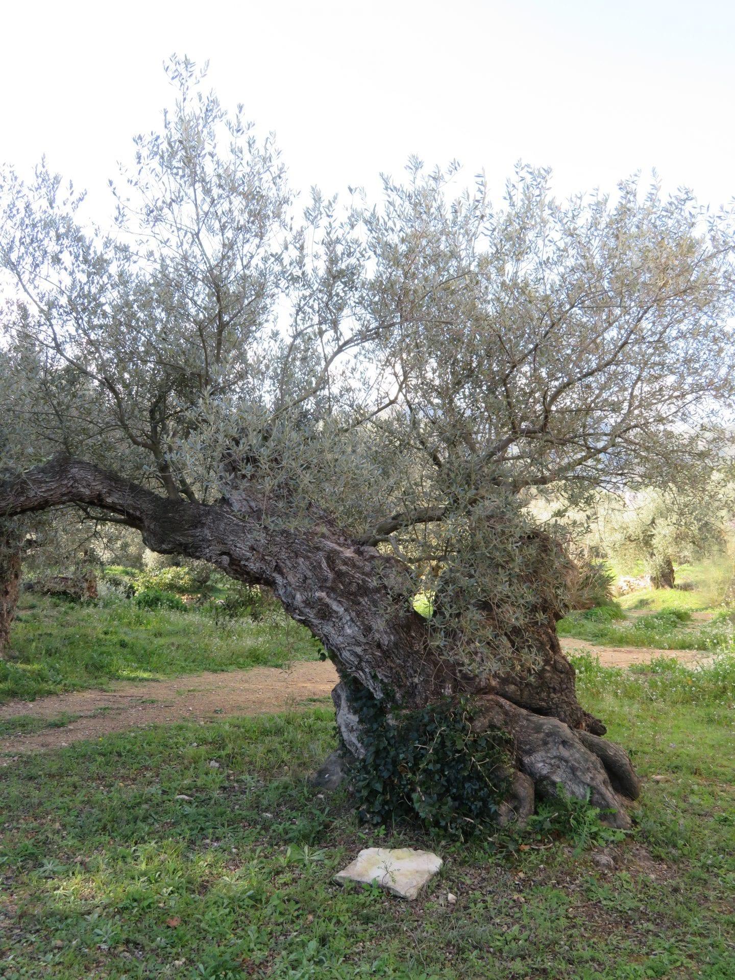 olivo-centenario