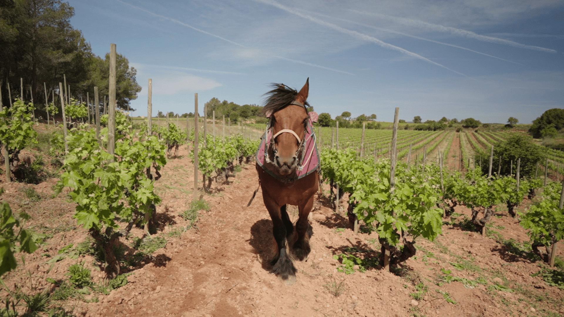 traccion-animal-viticultura