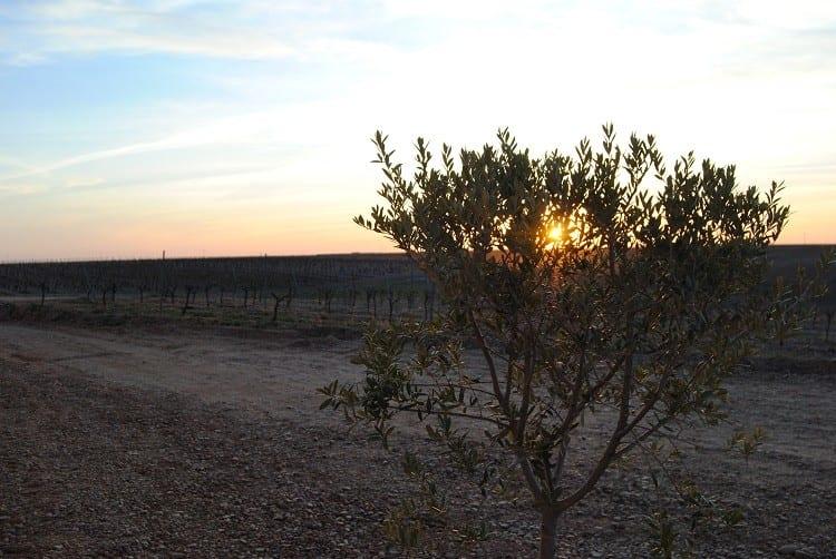 vinedos-puesta-sol